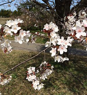 上床公園の桜