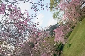 鹿児島県、丸岡公園の桜